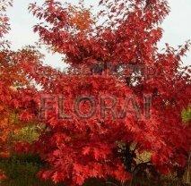 Дуб красный (Quercus rubra). Высота 350/+ С20-С27