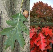 Дуб красный (Quercus rubra). Высота 280+ см. C10