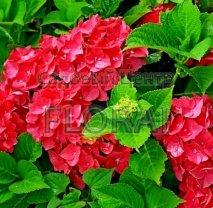 Гортензия крупнолистная / macrophylla Red 30/40 P19
