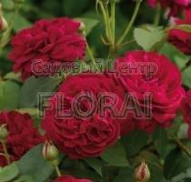 Роза кустовая  английская Darcey Bussell