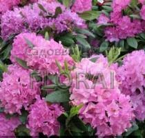 Рододендрон Roseum Elegans С2