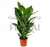 Спатифиллум королевский Sweet Sebastiano 135 см Р24