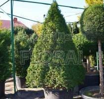 Тис ягодный (baccata). Пирамида 200-250 см, C160