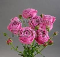Роза спрей Misty Bubbles