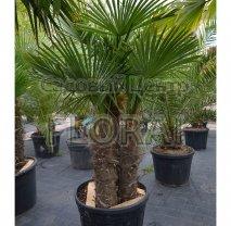 Пальма Хамеропс Excelsa / Trachycarpus fortunei 3 ствола. Высота с вазоном 140-150 см