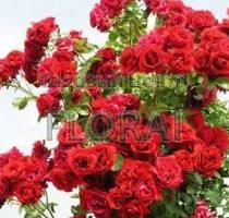 Роза вьющаяся Sympathie