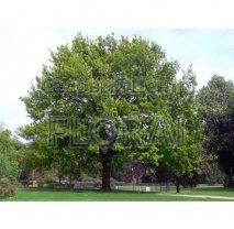 Дуб пушистый (pubescens)