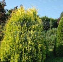 Туя западная Aurescens. Высота 40/60 см. С3