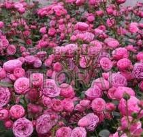 Роза почвопокровная Les Quatre Saisons