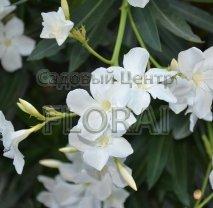 Олеандр белый 60/80 см C10