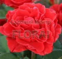 Роза патио El Toro