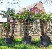 Пальма Хамеропс Excelsa / Trachycarpus fortunei 3 ствола на штамбе 140-150 см. С380