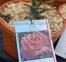 Роза кустовая  Elle С6