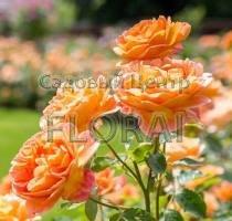 Роза английская Lady of Shalott С6