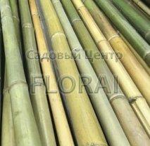 Бамбук зеленый h300