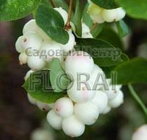 Снежноягодник белый White Hedge С3