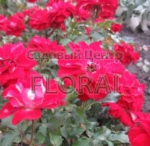 Роза кустовая Festival