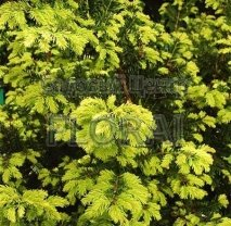 Тис ягодный (baccata) Summergold. Высота 125-150 см, C55