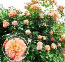 Роза плетистая Aloha