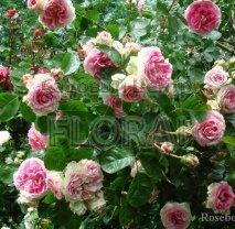 Роза плетистая английская Cesar