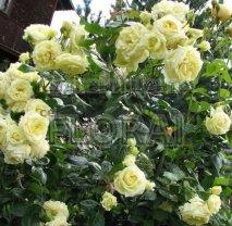 Роза плетистая Elfe, в контейнере