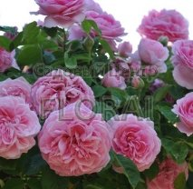 Роза плетистая Gertrude Jekyll