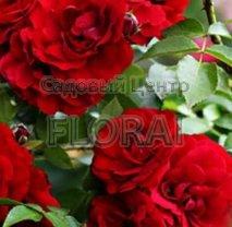 Роза плетистая английская Naheglut