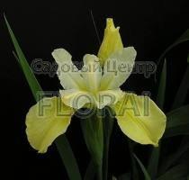 Ирис sibirica желтый