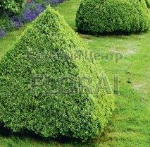 Самшит мелколистный (microfilla) 'Faulkner'. Пирамида. Высота 100 см