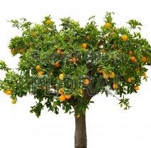 Апельсиновое дерево - Цитрус sinensis Orange 1/4St C25