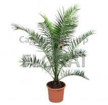 Пальма финиковая канарская. Высота 200-250см, C35