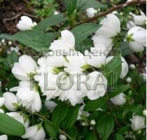 Чубушник (жасмин садовый) Snowbelle C3