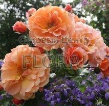 Роза плетистая английская Arabia