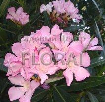 Олеандр розовый на среднем штамбе, обхват ствола 8-10см. С18