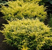 Тис ягодный (baccata) Summergold. Высота 30/40, конт С2-3