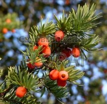 Тис ягодный (baccata). Высота  80/100 см. C10