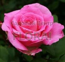 Роза кустовая английская Beverly