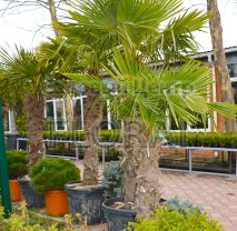 Пальма Хамеропс Excelsa / Trachycarpus fortunei  на штамбе 80-90 см