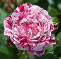 Роза кустовая  английская Ferdinand Pichard