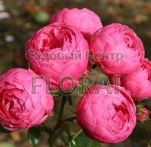 Роза кустовая английская  Pomponella в контейнере с ЗКС