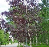 Береза плакучая Purpurea. Высота 160 см, С3