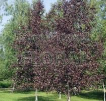 Береза плакучая Purpurea. Высота 3-3,5 м