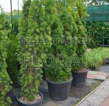 Тис ягодный Fastigiata Aurea. Высота 120-140 см