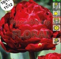 Тюльпан пионовидный Emblazon