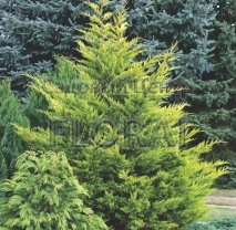 Купрессоципарис Лейланда Castlewellan Gold. Высота 70/80 см. Extra-качество. УЦЕНКА