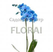 Фаленопсис синий 70 см/Р12