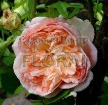 Роза плетистая английская Papi Delbard в контейнере с ЗКС