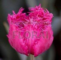 Тюльпан бахромчастый Kingston (упаковка 5 шт)