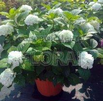 Гортензия macrophylla белая С30