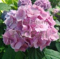Гортензия macrophylla розовая С25